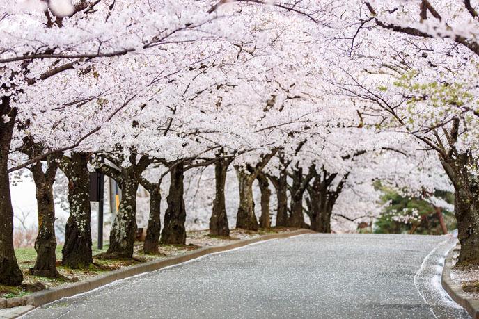 2016 벚꽃축제 ⑤ 제천 청풍호 벚꽃축제