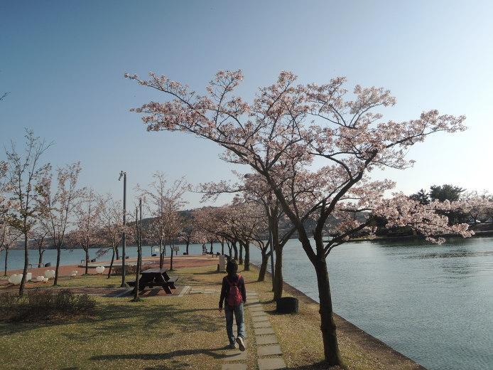 경주 벚꽃 명소 보문단지 보문호 호반길