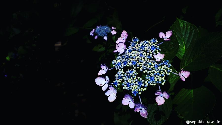 태종대수국꽃