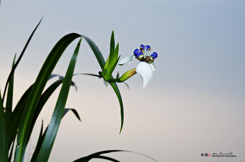 네오마리카 그라실리스(Neomarica Gracilis)