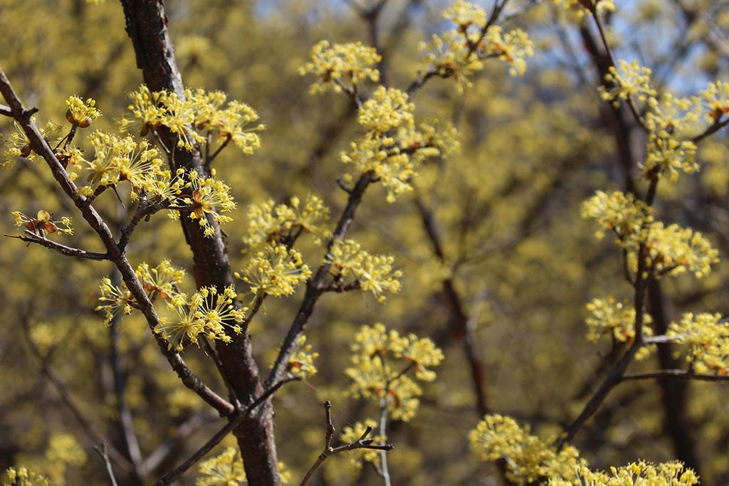 상위마을 산수유꽃 만개