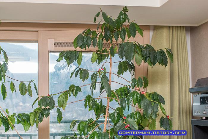 커피나무 위쪽 가지치기