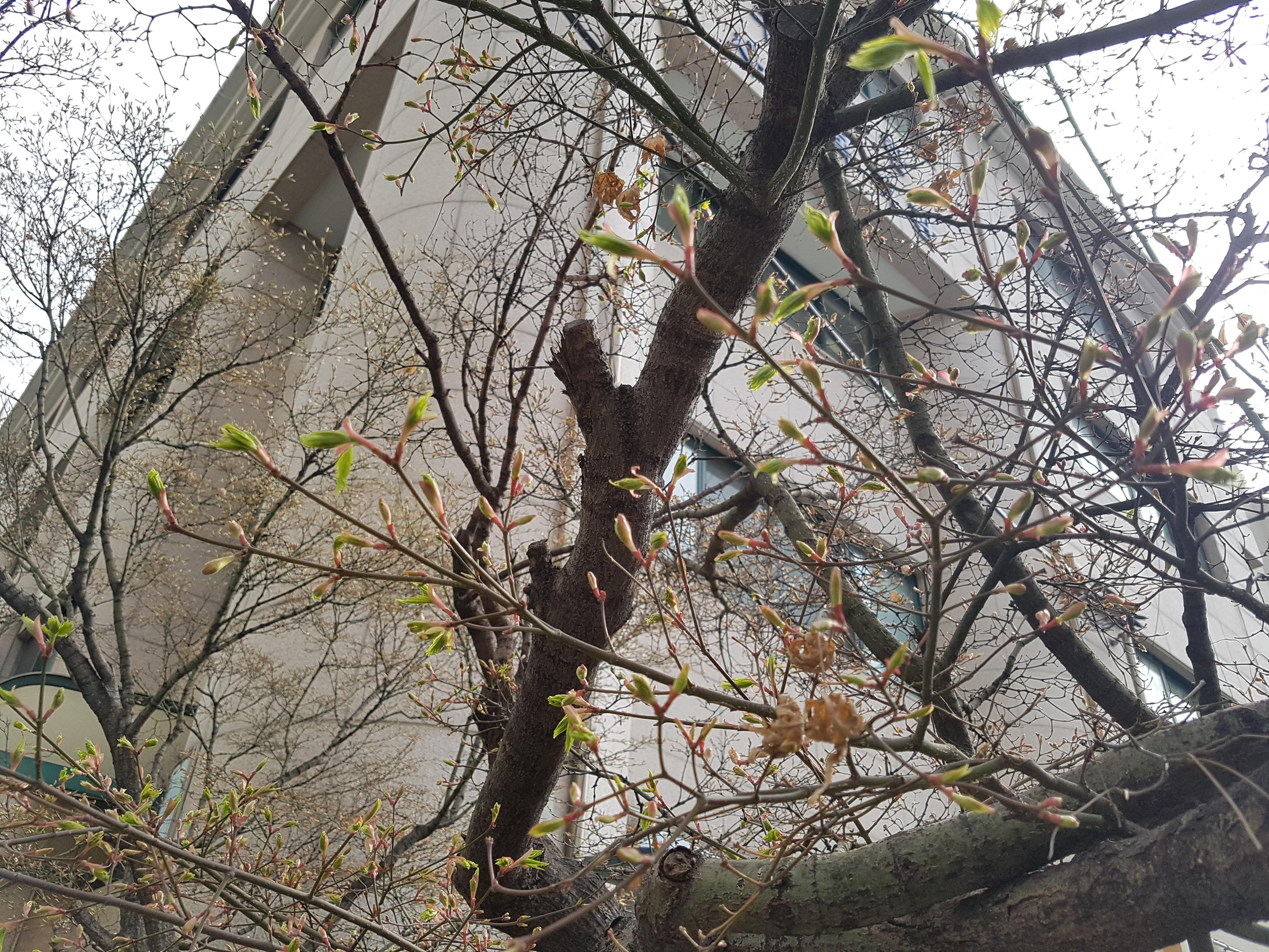 나뭇가지에 움튼 새싹을 발견, 황사와 미세먼지 신경쓰느라 봄이 이렇게 가까이 왔는지도 몰랐네.