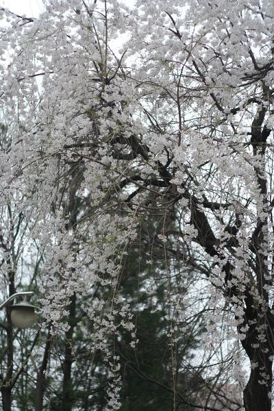 2018년 4월 벚꽃