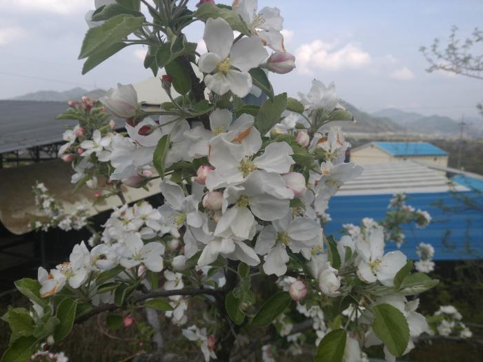 사과꽃나무 사진