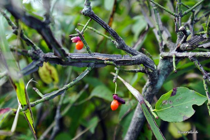 화살나무 열매