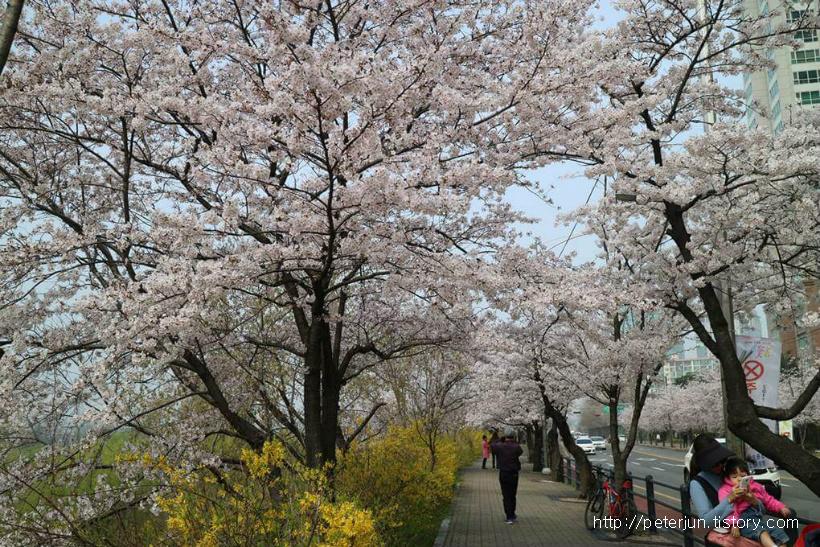 여의도 벚꽃축제 일정