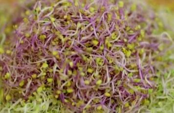 적양배추 새싹